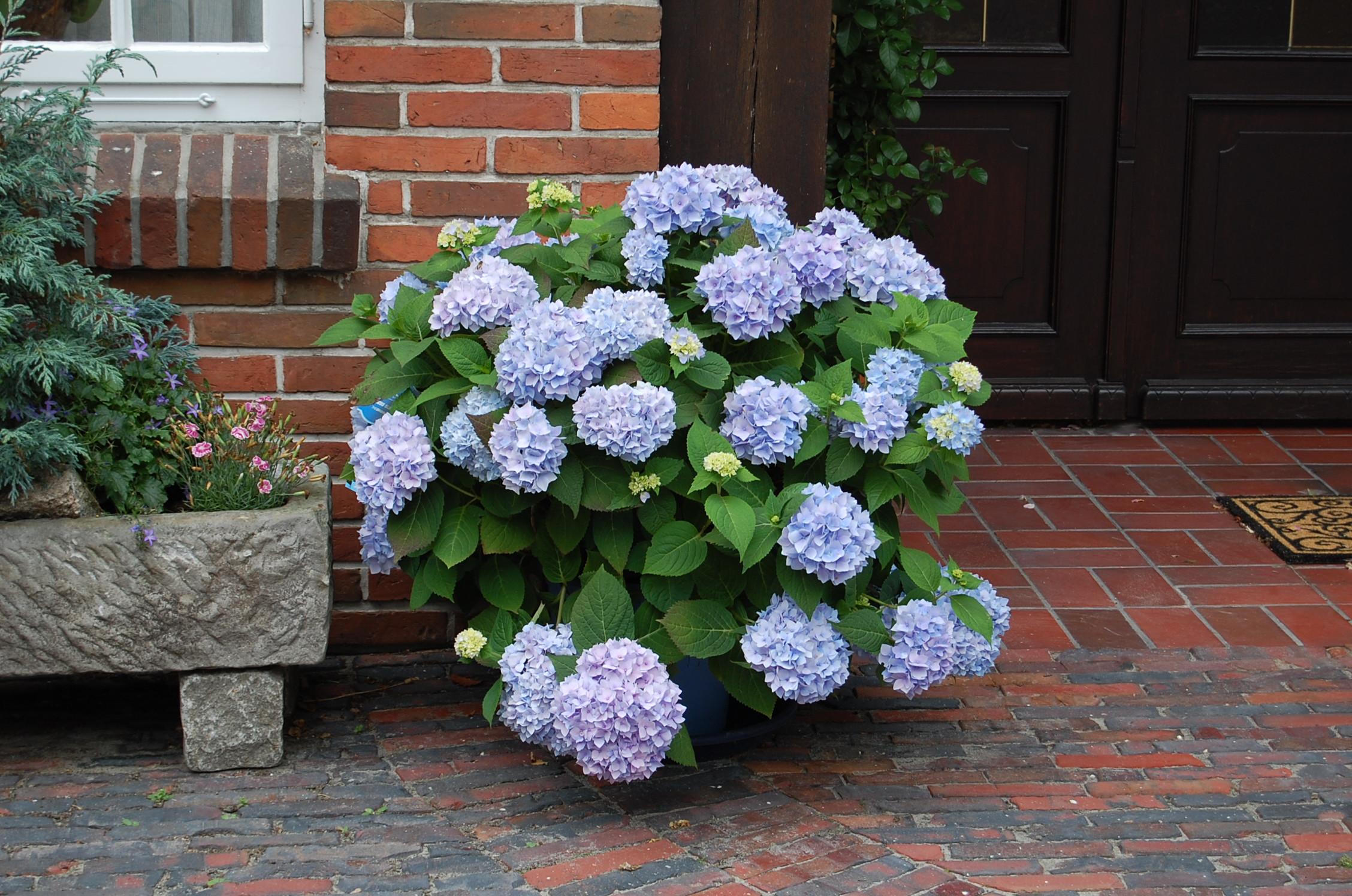 Endless Summer - The original med blå blomst
